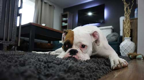 Best-way-to-clean-area-rugs-and-get-out-smells-Cleaning-pet-smells