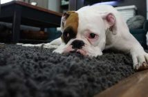 Best-rugs-for-dogs-1