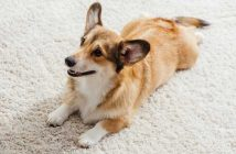 How-to-keep-dogs-from-peeing-on-rugs-therugsgal-featured-image
