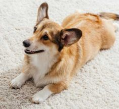 How To Keep Dogs From Peeing On Rugs